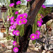 Lady Finger Cactus Seeds (Echinocereus pentalophus) 25+Seeds