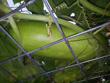 RARE Semi-Round Asian Gourd, Calabash, Lauki , Laau, Dudhi, Sorakaaya - 5 Seeds