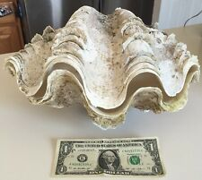 Rare Pair Antique Natural12 3/4 TRIDACNA GIGAS Sea Shell GIANT CLAM Seashell Art