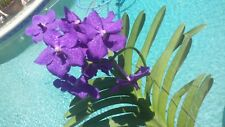 Orchid Vanda Pachara Special Pack four types Exotic Tropical Plants