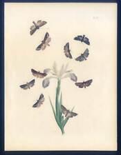 Schmetterlinge-Falter-Insekten-Pflanzen-Entomologie-Iris - Lithographie 1840