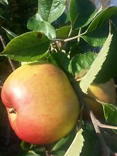 Bramley's Seedling Apple Tree 4-5ft Ready to Fruit, The Most Popular Cooker