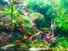 40+ Red, Orange Fire, Green Jade, & Wild Grey/Brown Shrimp Neocardinia Davidi