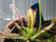 Drosera CAPENSIS LEAFY GIANT 30  seeds Fresh  carnivorous