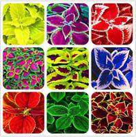 Exotic Coleus 100 PCS Seeds Bonsai Flowers Potted Garden Begonia Plants Mix NEW