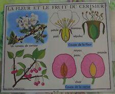 Old Map Objet de Métier Fleur & Fruit du Cerisier étamines Pétale Pistil Cerise
