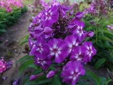 3 Aquilegia COLUMBINE GIARDINAGGIO radici piante perenni misti colori fiori a stella
