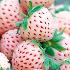 Pflanze Staude Obstpflanze weiße Ananas Erdbeere Pinneberry leckere Früchte