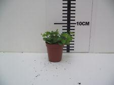 Peperomia Rotundifolia Live Tropical Vivarium Terrarium Plant