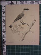 c1735 PRINT THE LESSER BUTCHER BIRD ~ ANTIQUE BIRD PRINT ELEAZER ALBIN ~