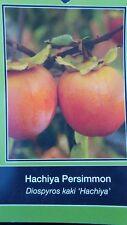 4'-5' Hichiya Persimmon Fruit Tree Plant Healthy Trees Grow Persimmons Plants
