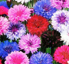 CORNFLOWER 'Double Mix' 100 seeds Centaurea cyanus flower garden WILDFLOWER