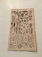 K8) 1855 Nature Enchinodermata Acalepha Infusorio Entozoa Original Plate