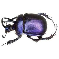 Enoplotrupes sharpi male purple scarab beetle Thailand unmounted packaged