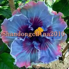 """Local Farmer  Rare Blue Colors """"Giant Hibiscus Exotic Coral Flowers 50 Seeds"""" Fr"""