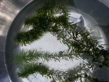 Narrow Leaf Anacharis, Egeria najas, Live Aquarium/Aquatic Plant/Planted Tank