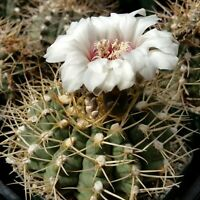Gymnocalycium piricarpum Cactus Cacti Succulent Real Live Plant