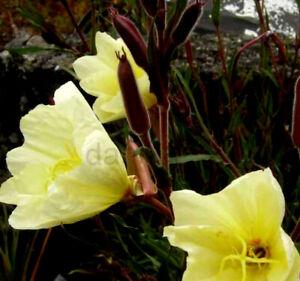 8 x PLUG PLANTS OENOTHERA 'LEMON SUNSET' HARDY  PERENNIAL