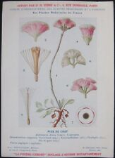 1920 French Medicinal Plant Botanical Print- Cat's Foot