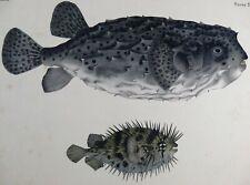 Fauna Japonica Pisces Gravure DIODON Burrfish Porcupinefish 1842 Kawahara Keiga