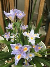 Heirloom Iris Purple, Walking Iris, 4 Plants + Free Shipping