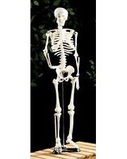 Squelette articulé 85 CM - NEWGEN MEDICALS