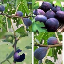4 Fig Trees Live Plnat Fruit LSU Purple Four Plants Outdoor Garden Best Gift