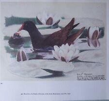 Beau Tunnicliffe Oiseau Imprimé ~ Moorhen avec Poussin