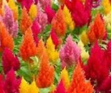 40+ Celosia Plumed Flamingo Mix / Seven Colors/ Self-Seeding Annual Flower Seeds