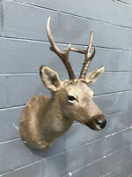 TAXIDERMY Eastern /Siberian Roe Deer Huge Antlers European Hunting Lodge Decor 2