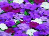 50 Impatiens Seeds Cascade Beauty Blues Mix Seeds (trailing)