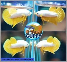 Live Betta Fish High Quality Halfmoon Plakat HMPK Yellow Dragon - USA Seller
