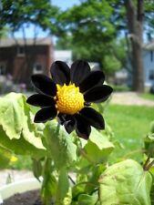 "7+ DAHLIA ""BLACK BEAUTY""  FLOWER SEEDS / ANNUAL / PERENNIAL / VERY RARE!"