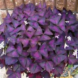 Purple Oxalis Triangularis x 5 rhizomes