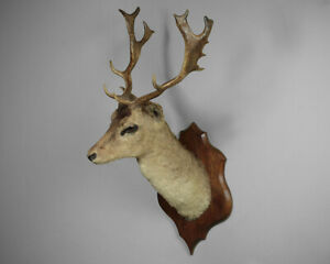 Early 20th.c Taxidermy Fallow Deer Stag's Head c.1930.
