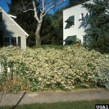 20 Sweet Autumn Clematis Seeds White Flower Perennial Plant Garden vine privacy