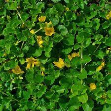 special bassin Lysimachia nummularia verte   plante  bassin aquarium facile