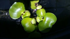 1 Live Water Hyacinth Plant for pond