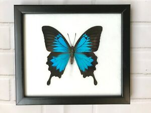 Blue Mountain Swallowtail (Papilio Ulysses) Butterfly Picture Display Frame Bug