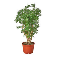 "Aralia Ming Stump Plant - 6"" Pot"