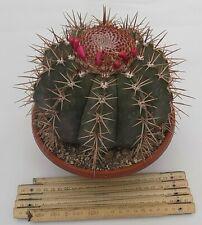 Melocactus Subviridigriseum vaso 20 pot. 20 cm.