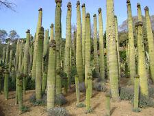 Neobuxbaumia Polylopha (10 SEEDS) Rare Cactus Samen Semi Korn 種子 씨앗 Семена