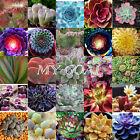 Sempervivum Cyclops Exotic Echeveria Succulent Seeds Cactus Stone Lithops Blue