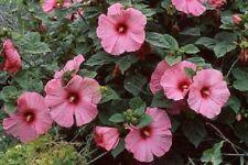 Hibiscus Disco Belle Pink Hybrid 15 Hibiscus Seeds (Perennial Seeds)