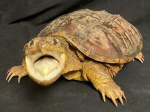BEAUTIFUL TAXIDERMY FEROCIOUS SNAPPING TURTLE