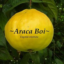 ~ARACA BOI~ Eugenia stipitata ARAZA Guayaba MOON FRUIT Tree Sm Pot Starter Plant