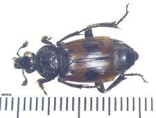 Coleoptera Silphidae Nicrophorus guadripunctatus Russia, Ussuri region