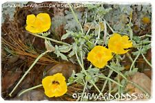 Glaucium flavum 'Yellow Horned-poppy' [Ex. Gouves, Crete, Greece] 200+ SEEDS