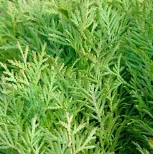 Hochstamm Zwerglebensbaum Amber Glow 60-80cm - Thuja occidentalis