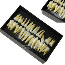 1 Kit 1:1 Dental permanent teeth demonstration teach study model #7008 Free ship